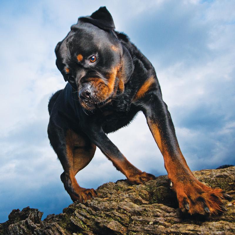 My Dog Crush   The Rottweiler