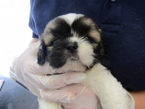 This tiny Shih Tzu has been named Kyle. via ISPCA