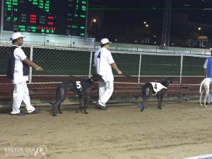 WALKING INJURED DOGS TO RACE AT THE CANDROME