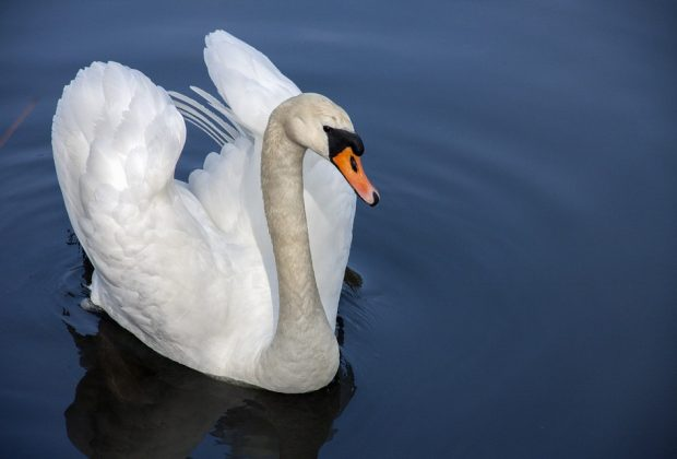 swan-319379_960_720