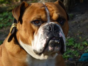 Buster, a Victorian Bulldog owned by Simon Hayes