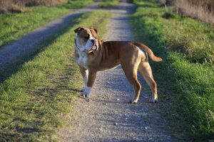 Pepper, a Continental bulldog bred by Ines Olbricht.
