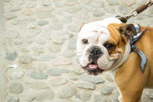 bulldog-1162660_960_720