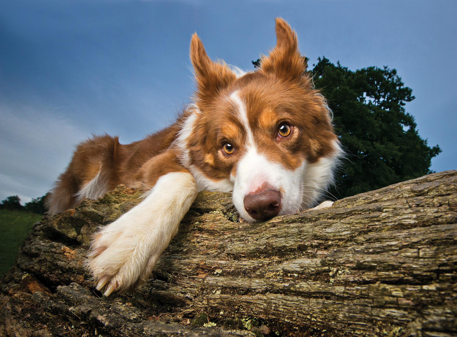 Dog Crush: the Border Collie