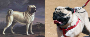 A painting of Pug by Richard Ramsey Reinagle (1775-1862) versus a modern Pug.