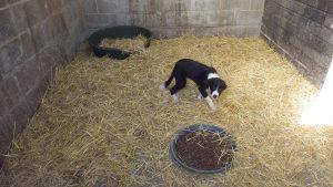 A Border Collie puppy. Via RSPCA.