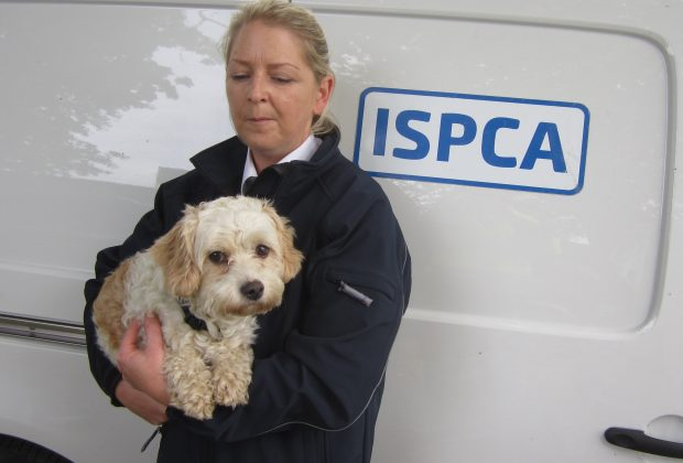"ISPCA News 12th October 2016 Joey reunited with his brother and owner This is the emotional reunion of Joey the Cavachon dog with his owner and his brother Toby.  Joey went missing from near his home last Monday 3rd October and, by Saturday, he was being offered for sale at the Ballinasloe October Fair. Thankfully Joey was microchipped so, when suspicions were raised about his background and ISPCA Inspectors scanned him, they discovered that he was owned and was missing. Joey was taken into the care of the ISPCA and Gardaí are now investigating the matter. ""This is further evidence, if it was needed, of the value of microchipping"" commented ISPCA Chief Inspector Conor Dowling, ""without Joey's microchip, we could not have established that he was missing and the ISPCA and Gardaí would not have had grounds to intervene"".  The ISPCA had four Inspectors present on the three busiest days of this year's Ballinasloe Fair. In addition to Joey, Inspectors seized a further 27 dogs and three equines. For ISPCA Inspectors to seize animals they must have grounds to believe that offences under the Animal Health and Welfare Act have been committed. So all of the animals seized were sick, in poor condition, or had been subjected to illegal tail docking.  ISPCA CEO Dr Andrew Kelly highlighted the fact that the sale of dogs and other small animals at fairs is driven by demand and that, if people did not buy these animals, then they wouldn't be offered for sale. ""This year in Ballinasloe we were made aware of a number of rescue organisations that were buying animals in order to 'rescue' them instead of raising their concerns with the ISPCA or An Garda Siochana"" said Dr Kelly, ""Whilst buying animals may be very tempting, it is the opinion of the ISPCA that it simply perpetuates the problem and the sellers will be back in future years with more animals to sell"".  ENDS"