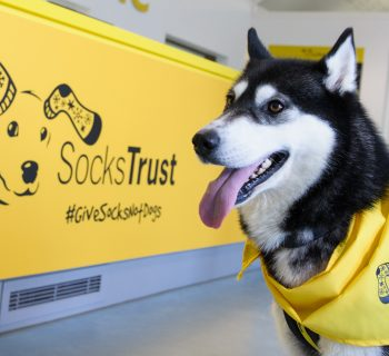 Mia the Husky stands proudly in front of the newly rebranded Socks Trust welcome desk at the Basildon rehoming centre as Dogs Trust takes a stand against impulse puppy purchasing by changing its name to Socks Trust, encouraging Brits to #GiveSocksNotDogs this Christmas.   Championing the most conventional and possibly least returned Christmas present of all - a safe pair of socks - Socks Trust is working to prevent puppies being bought on a whim and later neglected when the reality of dog ownership sinks in. An exclusive line of festive socks featuring some of the loveable hounds left abandoned over the festive season can be purchased in support of the campaign from www.sockstrust.org.uk