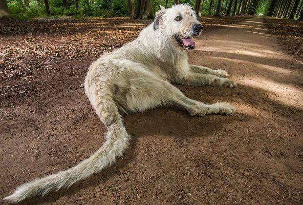 Longest-tail-on-a-dog_tcm25-458597