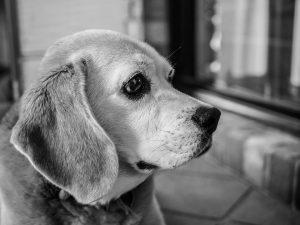 beagle-1268944_960_720