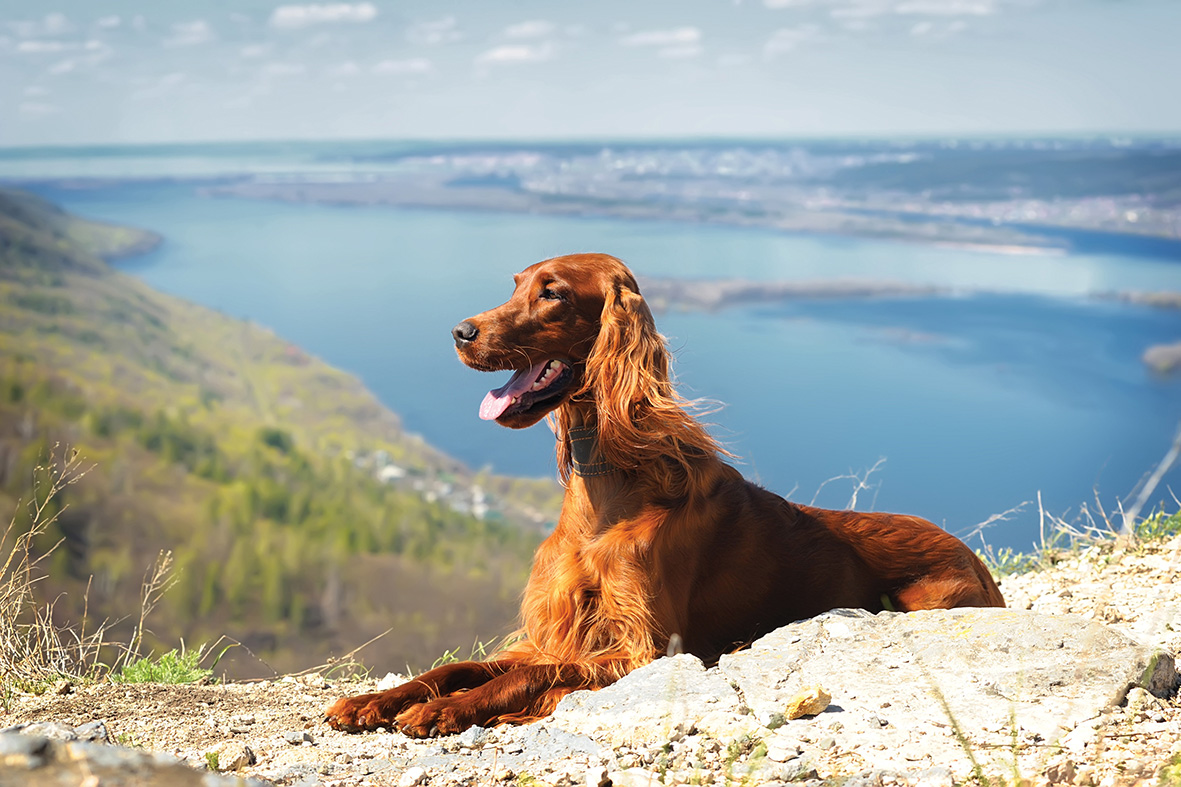 Dog Crush: Irish Setter