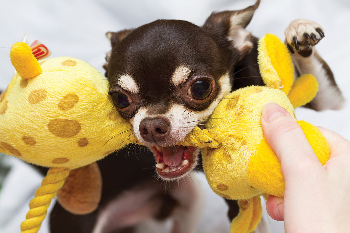 The Great Debate: do squeaky toys increase prey drive?