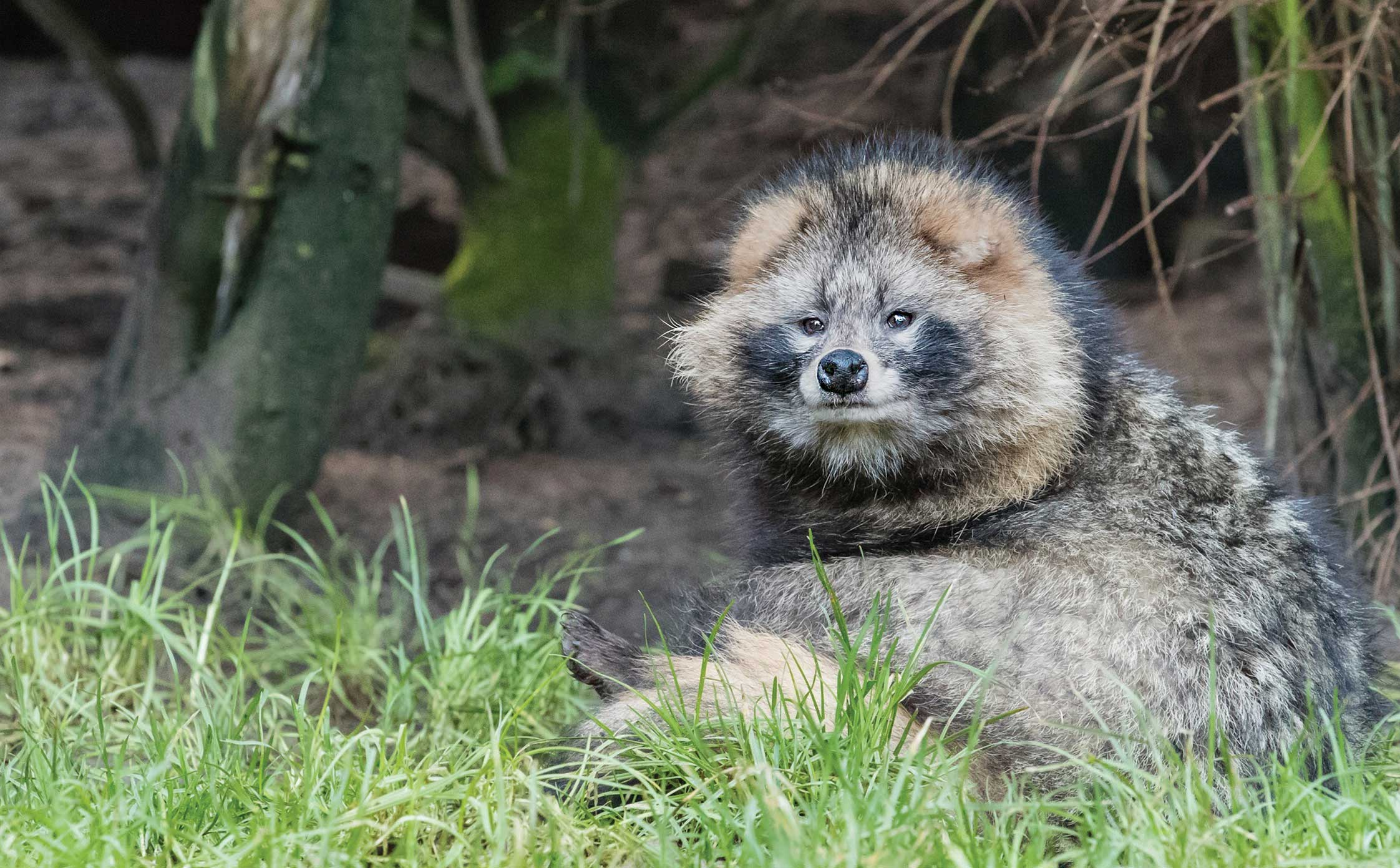 Investigating an imposter – Raccoon dogs!