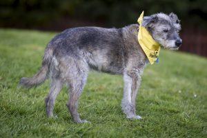 Dog with yellow bandana