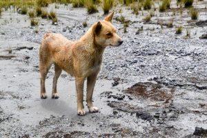 New Guinea highland wild dog in swamp