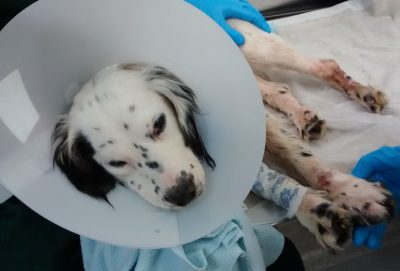 spaniel was found de-clawed