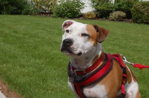 Staffie Diesel is a red harness