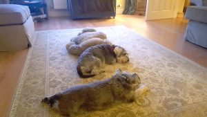 Lost Schnauzers Charlie and Theo reunited with owners