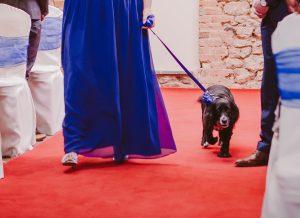 Dog walks down the aisle