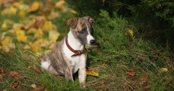 Whippet puppy sits in grass