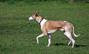 Brown and white whippet walks