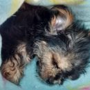 Teacup yorkie puppy picked up by the RSPCA