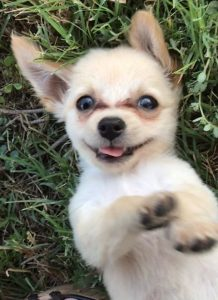 Chihuahua cross Puppy Chewy after being rescued