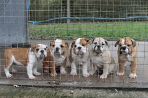 A litter of smuggled English Bulldogs spend time in quarantine