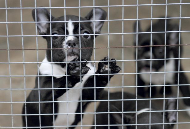 French Bulldog puppy looks out from cage