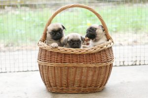 These pug puppies were transported in a wicker basket with clingfilm over the top.