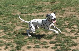 Scholar the Dalmatian runs around the dog park