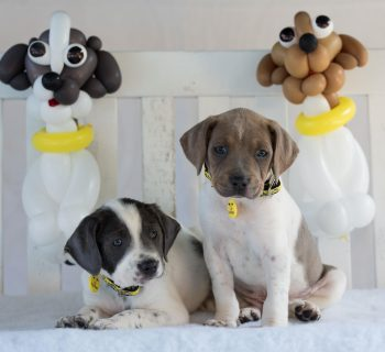 Staffie Graf and Andre Wagassi, two of the Dogs Trust balloon dog litter