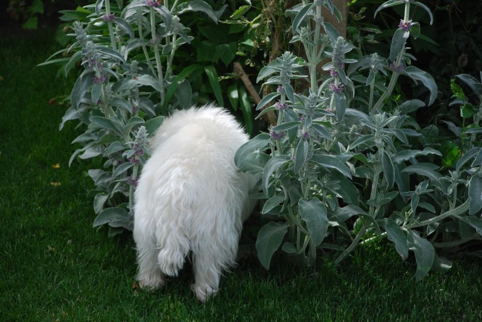 Westie Bosley in the garden