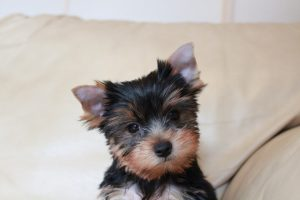 Yorkshire Terrier puppy looks on