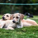 Two puppies from same litter lay on grass