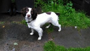 Missie the Springer Spaniel