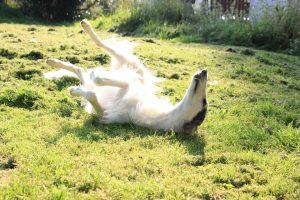 Borzoi rolls in some grass