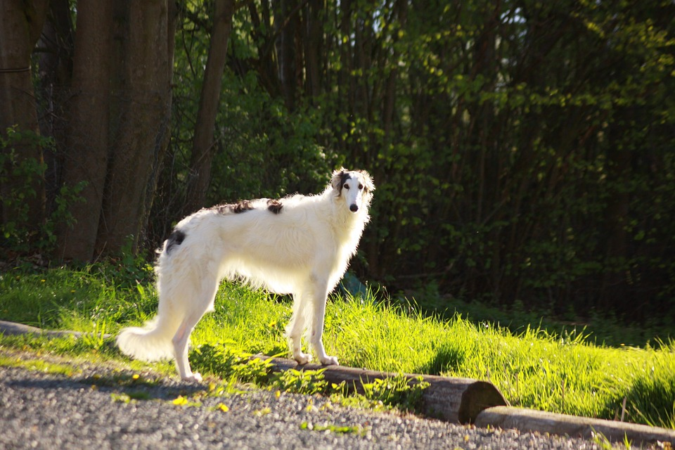 Borzoi standing in a field
