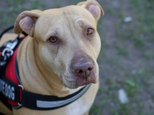 A Pit Bull, a banned breed in the UK as it is considered to be dangerous