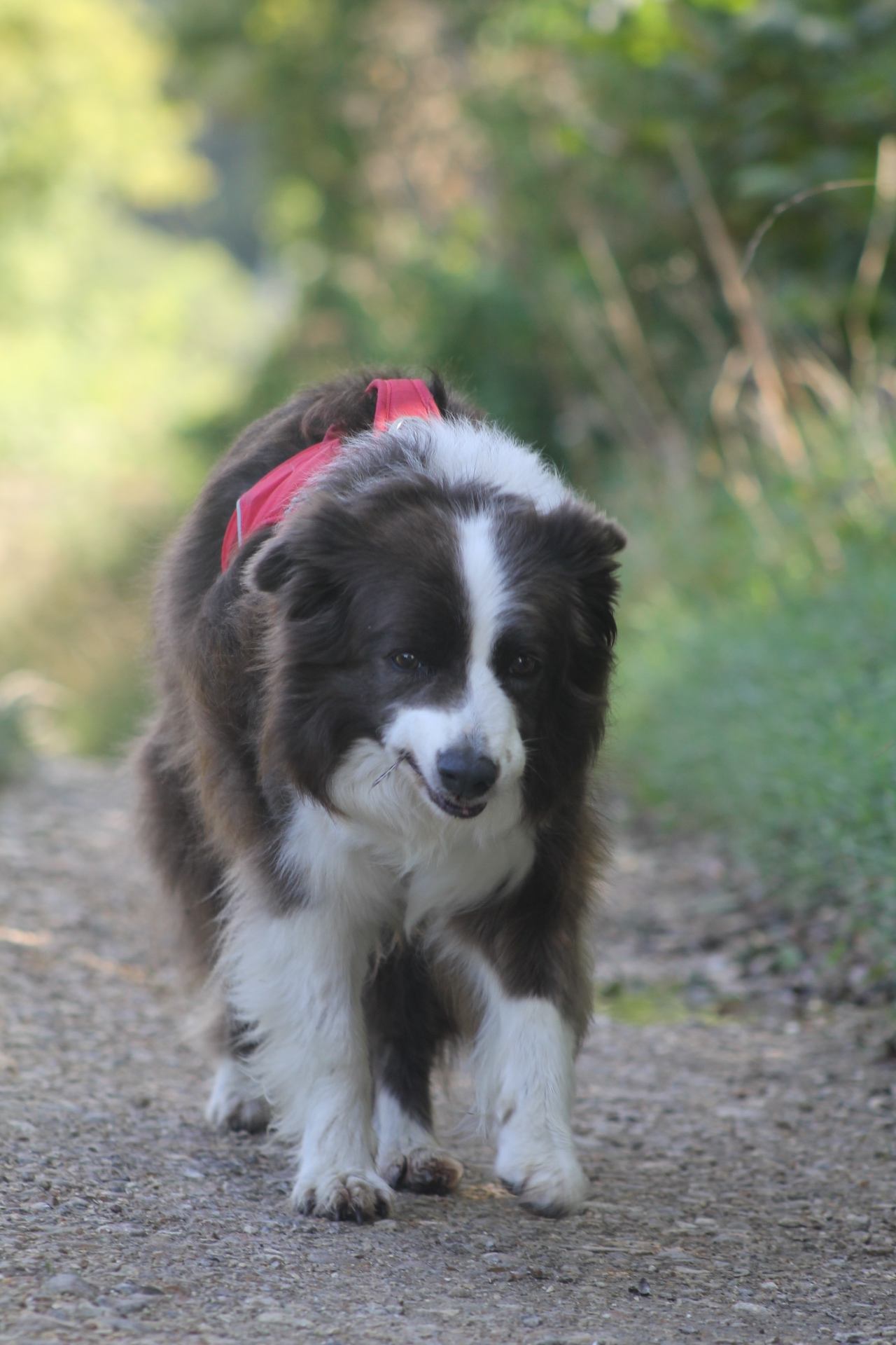 Border Collie Holly completes The Big Walk