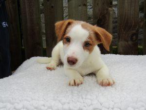 Jack Russell puppy Mowgli