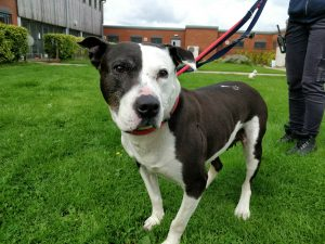Roxy, the abandoned black and white Staffie