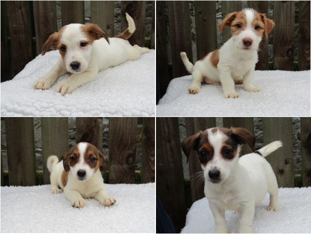 Jack Russell puppies Donald, Louie, Ariel and Daisy