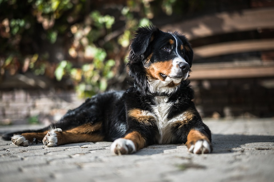 Bernese Mountain Dog laying in the shade