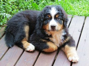 Bernese Mountain Dog puppy on decking