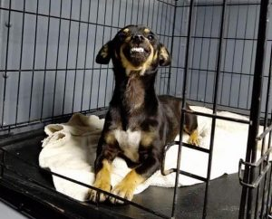 A Chihuahua cross with an incredibly endearing smile has taken the internet by storm,