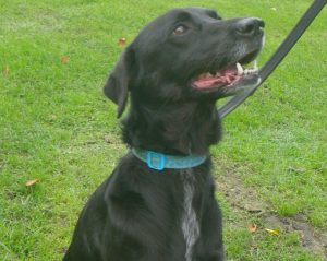 Black Labrador-cross Coco