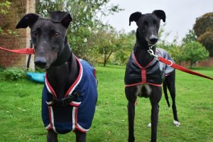 Serena and Eddie the black Greyhounds at Battersea Old Windsor