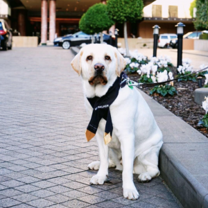 Mr Walker the Labrador outside the Park Hyatt Melbourne hotel