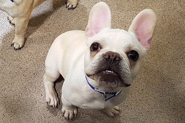 Wasabi, a French Bulldog with an usual name